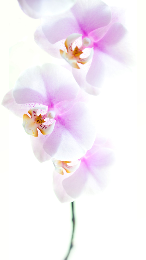orchidStrip